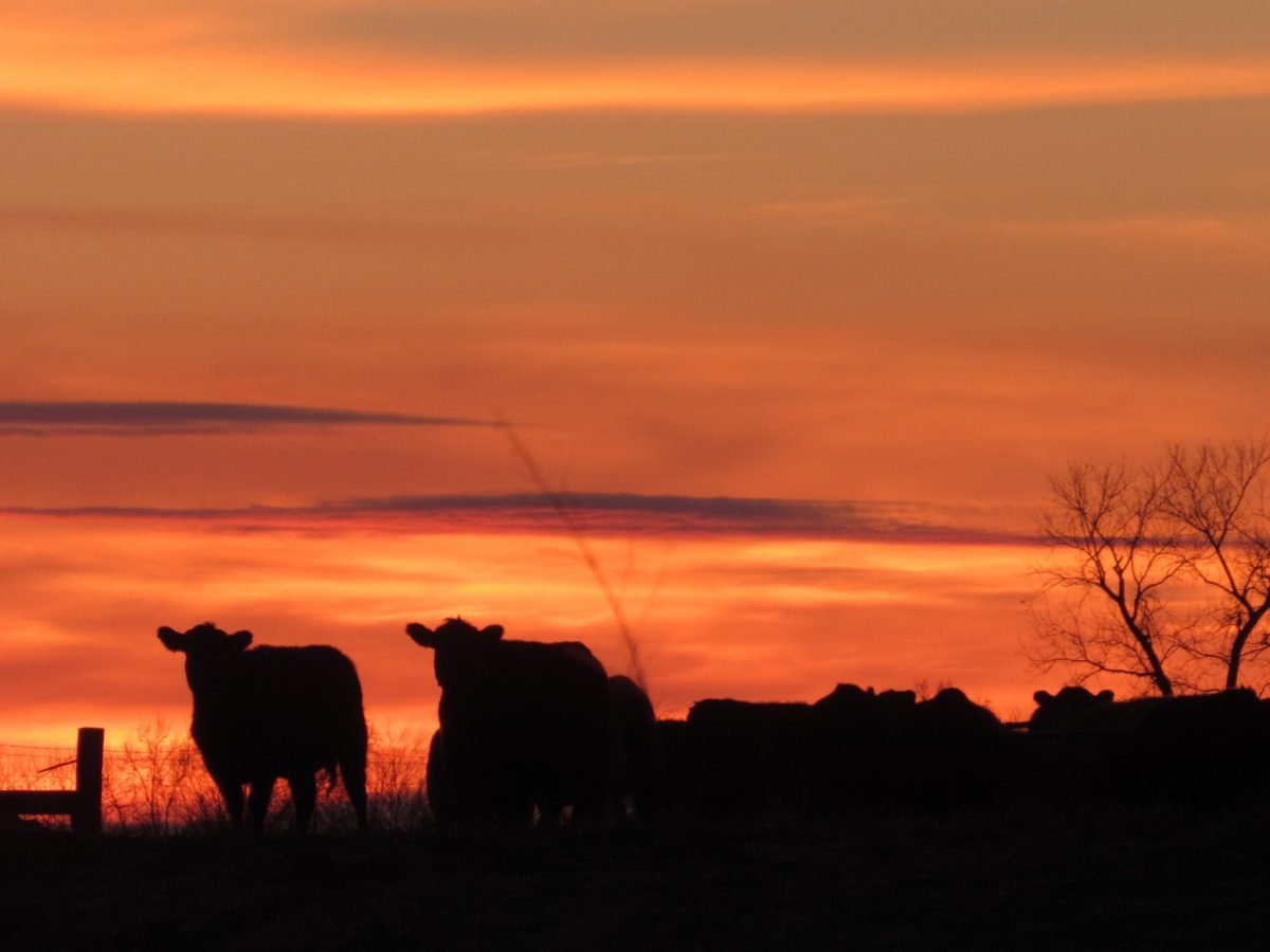 Sunset Cows - Cate Gusentine - 12 yrs - USA